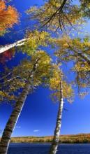 Thirteenth Lake, 13th Lake,North Creek,white birches,birches,vertical panorama,vertical,Thirteenth Lake white birches,Go
