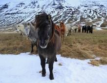 Icelandic Horses in the