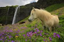 Icelandic horses at Seljalandsfoss