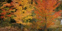 Adirondacks, Adirondack, autumn, leaves, foliage, color, yellow, maple, maples, reds, Adirondack Park, fall, leaf