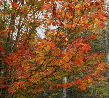 Adirondacks, Adirondack, autumn, leaves, foliage, color, yellow, maple, maples, reds, Adirondack Park, fall, Tupper Lake