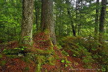 Auger Falls, white pine, pine, white pine trunks, trunk, trees, forest, pine forest, base, pine base,