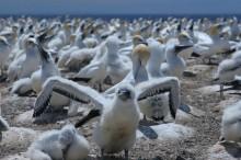 gannet, chick, bird, australasian, Cape Kidnappers, Napier