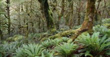 temperate, rainforest, fiordland national park, New Zealand, Dusky Track, lush, ferns, forest, mossy, moss