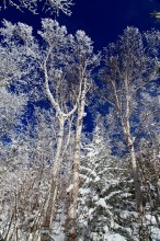 frosted,white birch,birches,white,blue,sky,vertical,forest,Mt Jo,winter