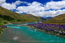 glacial river,torquois,New Zealand,field,lupine,lupines,wildflowers,fields,lupine wildflowers,river,