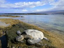 sea turtle, green sea turtle, Hawaii, endangered, marine, animals, basking, sun, Puako, beach, coast, Big Island