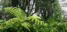 Hawaii, rainforest, ferns, trees, lush, giant, leaves, vines