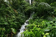 Hawaii, rainforest, ferns, trees, lush, giant, leaves, vines, stream, wet, rainy, forest
