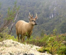 huemul deer, endangered, native, deer, Patagonia, mammal