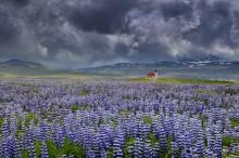 Iceland Lupine fields, church near Rif