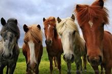 Iceland,horse,Icelandic horse,Icelandic horses,horses,five,friendly,