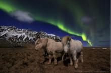 Icelandic Horses Under Auroras