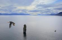 Puffins,colony,puffin,Drangey Island,Skagafj