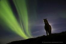 Icelandic horse sillouette under aurora