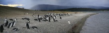 Magellanic Penguins, Magellanic penguin colony, Beagle Channel, Isla Martillo, Tierra Del Fuego, panorama