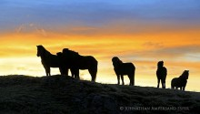 Icelandic horses sillouette at Hoffell
