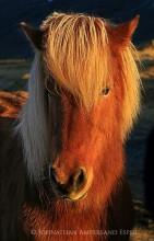 Hoffell,Hoffellsjokull,Iceland,Icelandic,golden,hair,horse,light,long,mane,portrait,shaggy,side light,sunrise,winter