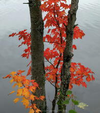 Lake Durant maple trunks and red leaves with water backdrop