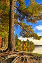 Lake Eaton,Lake Eaton campsite,white pine,pine,roots,pine roots,Lake Eaton campsite white pine,Adirondack Park,