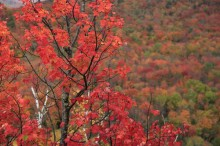 Adirondack,maple,full,color,red,colorful,foliage,season,fall,autumn,leaves,Adirondack Park,forest,mixed,background,soft,