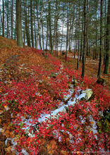 Little Tupper Lake,shoreline,November,late fall,snow,lake,Adirondack Park,red blueberry bushes,blueberry bushes,blueberry,bushes,birch log,log,forest
