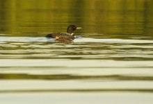 loon,common,Lake Eaton,Adirondack Park,birds,wildlife,Adirondack,water,