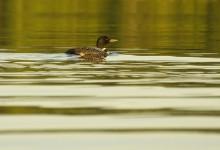loon,common,Lake Eaton,Adirondack Park,birds,wildlife,Adirondack,water,