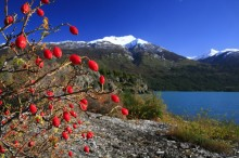 Lago Futalaufquen, Los Alerces National Park, Argentina, red, berries, bush