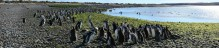 Magellanic penguins, penguins, Magellanic penguin, colony, Rio Deseado Estuary, Atlantic coast, Patagonia, wildlife