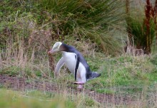 Yellow Eyed Penguin, Otago Peninsula, New Zealand, penguins, wildlife