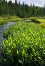 Slim Pond, Pickerell Weed,Big Brook,Long Lake,wildflowers,Slim Pond Outlet,Slim Pond Outlet Pickerell Weed,Adirondack Pa