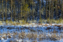 Pines,pine forest,winter light,shadow and highlight,Moody Falls,Adirondack,forest