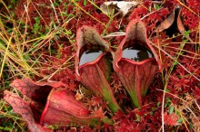 pitcher plants,filled,trapped,fly,Adirondack,bog,Inlet,Uncas Road,