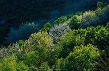 Pitchoff Mt slopes spring leaf foliage backlit