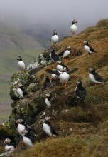 Icelandic,puffin,colony,group,puffins,lots,Iceland,Gr