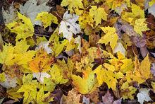 Rattlesnake Mt,Rattlesnake Mountain,forest,trail,fall leaves,ground,yellow leaves,foliage,Rattlesnake Mt trail,