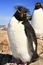 rockhopper penguin, Puerto Deseado, Patagonia, Atlantic coast, wildlife, penguins, Isla Penguino