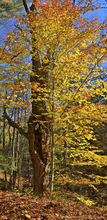 Schroon River,Schroon River property,beech,beech leaves,autumn,2015,Adirondack photography,Adirondack,beech tree,Adirondack Park,fall,foliage,yellow leaves,yellow,vertical panorama,maple,old maple tre