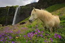 Seljalandsfoss, Icelandic, horse,wildflowers,white,Iceland,waterfall