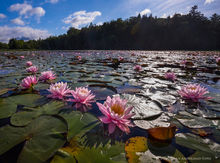 Tupper Lake,Simon Pond,lily pads,water lilies,pink,2019,summer,Adirondack,pond,wetland,Johanthan Esper,Tupper Lake lily pads,