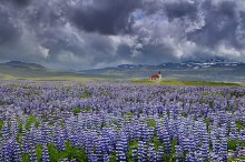 Snaefellsness Peninsula,Rif,Iceland,Icelandic,country,church,storm,clouds,field,lupine,