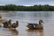 mallard duck,ducks,chicks,Stillwater Reservoir,wildlife,birds,Adirondack Park,water