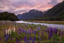 Fiordland National Park, field,lupine,lupines,wildflowers,fields,lupine wildflowers,river,