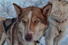 Sled dogs take a break near Kiruna, Sweden
