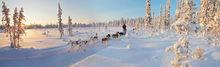 Dogsledding through the forest near Kiruna, Sweden