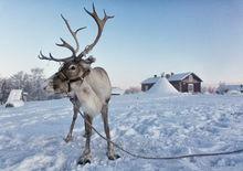 Reindeer near Kiruna, Sweden