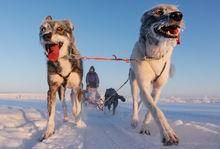 Dogsledding near Kiruna, Sweden