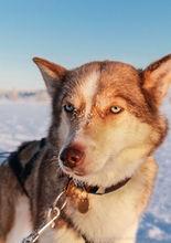 A sled dog taking a break near Kiruna, Sweden