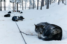 Sled dogs take a nap during a 10 day dogsledding trip